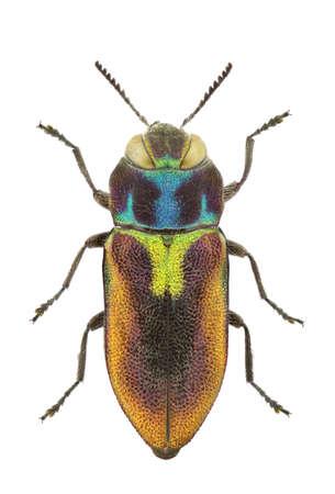 midas: Female of Anthaxia midas isolated on a white background. Stock Photo