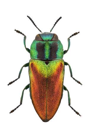 escarabajo: Mujer de Anthaxia Passerini aislado en un fondo blanco. Foto de archivo