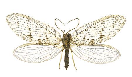 extreme angle: Hemerobius atrifrons isolated on a white background. Stock Photo