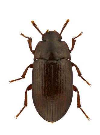 An Alphitobius diaperinus, lesser mealworm beetle or darkling beetle, isolated on white Standard-Bild