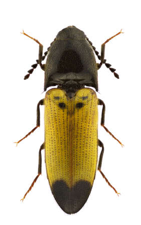 elateridae: Female of Ampedus quadrisignatus click-beetle isolated on a white background
