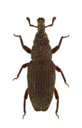 curculionidae: A Dryophthorus corticalis, Saproxylic weevil, isolated on a white background