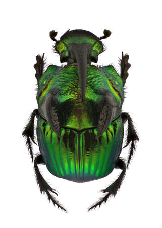 extreme angle: A Male of Phanaeus demon, Rainbow Scarabs, isolated on a white background