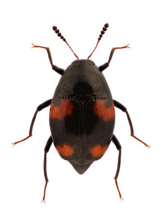 A Scaphidium quadrimaculatum, shining fungus beetle, isolated on a white background Stock Photo