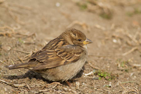 Female of House Sparrow, Passer domesticus, resting photo