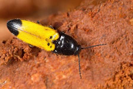 click beetle: Female of Ampedus elegantulus click-beetle isolated on a white background