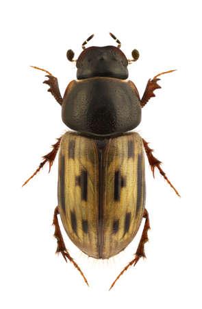 Aphodius melanostictus, dung beetle, isolated on white