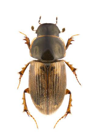 Aphodius prodromus, dung beetle, isolated on white Stock Photo