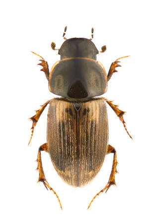 Aphodius prodromus, dung beetle, isolated on white Standard-Bild