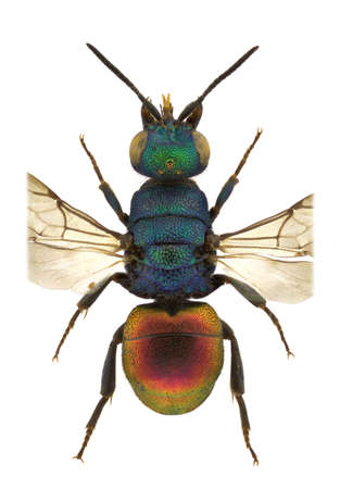 A female of Hedychrum genus, cuckoo wasp, isolated on a white background photo