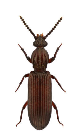 carabidae: A female of Rhysodes sulcatus, wrinkled bark beetles, isolated on white background