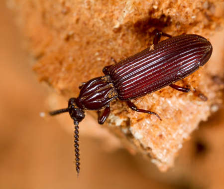 carabidae: Rhysodes sulcatus, wrinkled bark beetles, photographed in nature Stock Photo