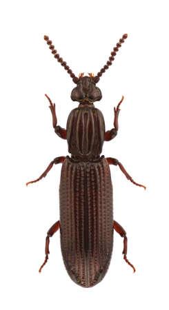 carabidae: A female of Omoglymmius germari, wrinkled bark beetles, isolated on white background