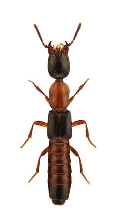 arthropoda: Xantholinus decorus, rove beetle, isolated on a white background Stock Photo