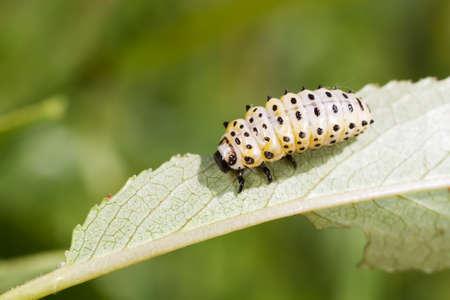 Larva of Chrysomela populi, Broad-shouldered leaf beetles, photographed in nature on Salix leaves