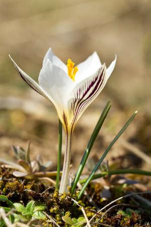 reticulatus: Variegated Crocus, Crocus reticulatus, in blossom