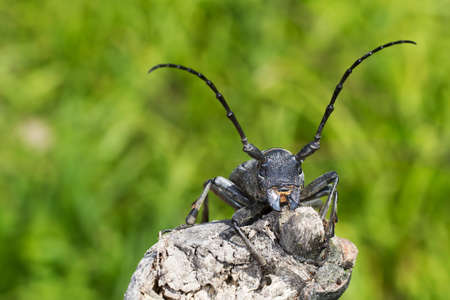scientifical: An adult of Morimus funereus, longhorn beetles, photographed when staying on a branch Stock Photo
