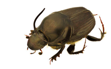 A male of Onthophagus illyricus, dung beetle, isolated on a white background