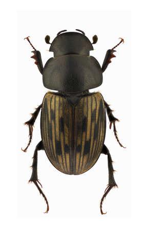 Aphodius luridus, dung beetle, isolated on a white background Stock Photo - 11585140
