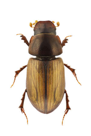 Aphodius lugens, dung beetle, isolated on a white background