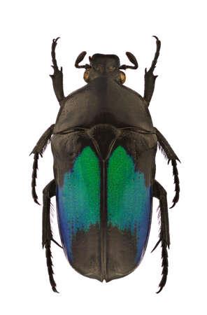 escarabajo: Mujer de Dicheros modestus, flor chafer, aislado en un fondo blanco Foto de archivo