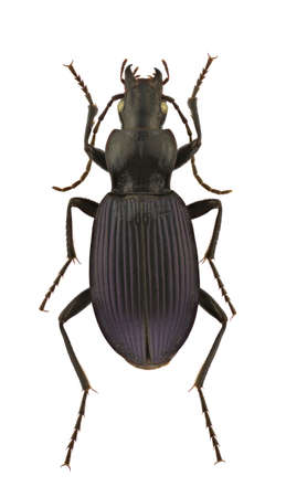 A female of Laemostenus punctatus, ground beetle, isolated on a white background