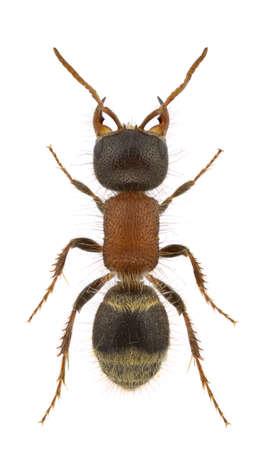 A female velvet ant, Myrmilla lezginica, isolated on a white background