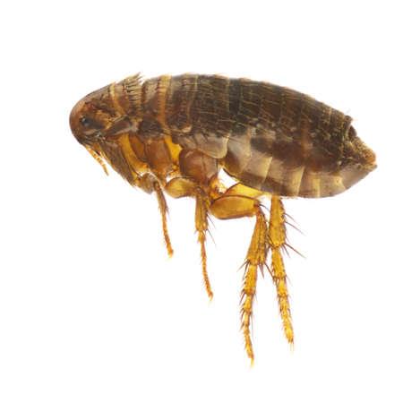 plaga: Ctenocephalides felis, la pulga de gato o de pulgas, aisladas sobre un fondo blanco