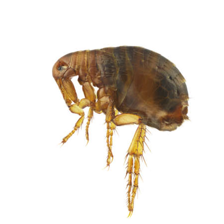 Pulex irritans, human flea or flea, isolated on a white background Stock Photo