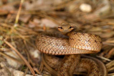 colubridae: Smooth snake, Coronella austriaca, between pine tree leaves.