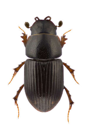 A specimen of Esymus pusillus, dung beetle, isolated on a white background