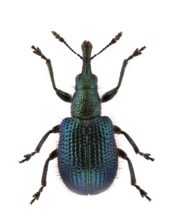 weevils: A specimen of Involvulus caeruleus, tooth-nosed snout weevils, isolated on a white background