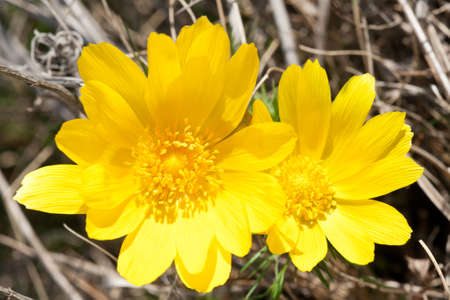 Flowers of Adonis vernalis, yellow pheasants eye, photographed in nature