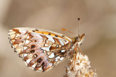 weavers: A specimen of Weavers Fritillary or Violet Fritillary, Boloria dia, photographed in nature