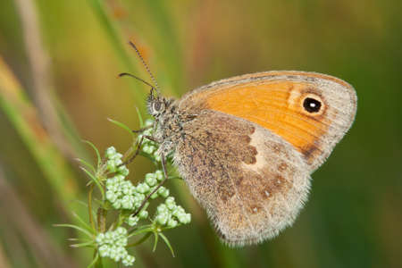 The Small Heath, Coenonympha pamphilus, photographed in nature Stock Photo