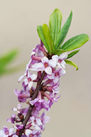 Branch with flowers of Daphne mezereum photographed in nature