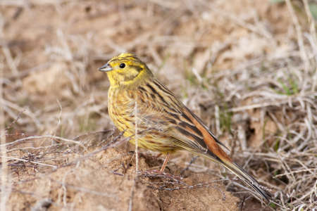 Male of Emberiza citrinella, Yellowhammer, photographed in nature Stock Photo