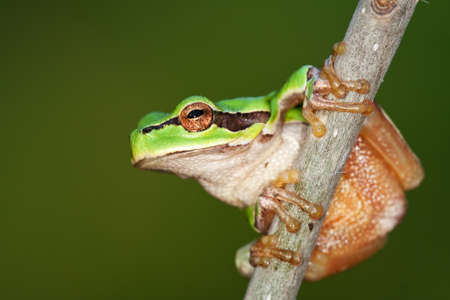 hyla: European Green Treefrog, Hyla arborea, photographed in nature Stock Photo