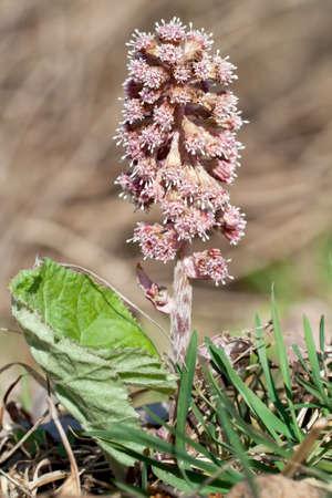 Petasites hybridus, Common Butterbur, photographed in nature Stock Photo - 11585207