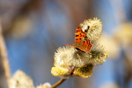 Polygonia c-album, Comma butterfly, photographed in nature