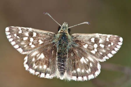 A specimen of The Grizzled Skipper, Pyrgus malvae, photographed in nature when resting