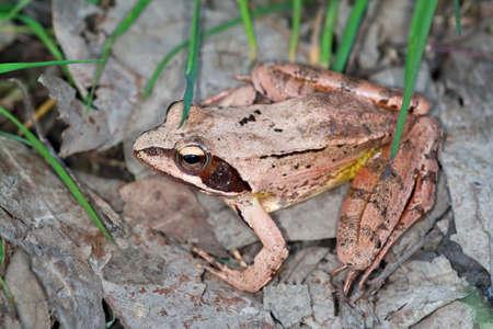 Agile frog, Rana dalmatina, photographed in nature