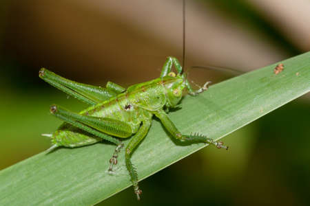 An immature of Tettigonia viridissima, Great Green Bush-Cricket, photographed in nature