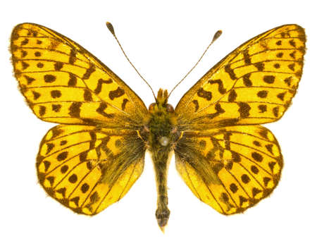 The Pearl-bordered Fritillary (Boloria euphrosyne) isolated on a white background Standard-Bild