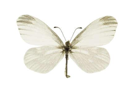 The Fentons wood white, Leptidea morsei, isolated on a white background