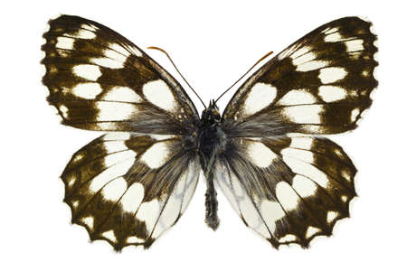 The Marbled White (Melanargia galathea) isolated on a white background Stock Photo