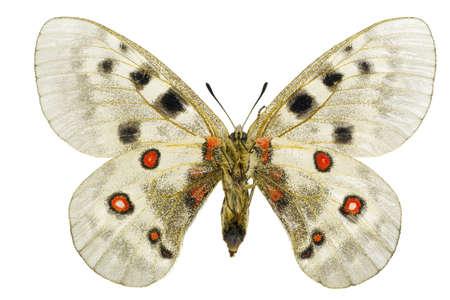 Apollo or Mountain Apollo (Parnassius apollo) isolated on a white background