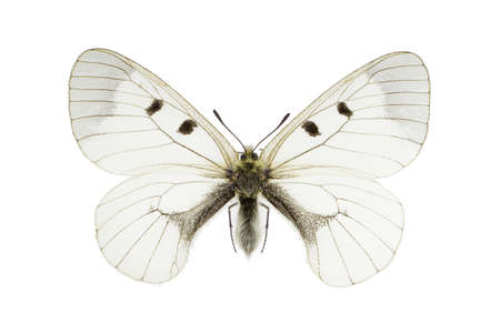 The Clouded Apollo (Parnassius mnemosyne) isolated on a white background