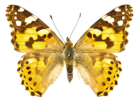 vanessa: The Painted Lady (Vanessa cardui) isolated on a white background