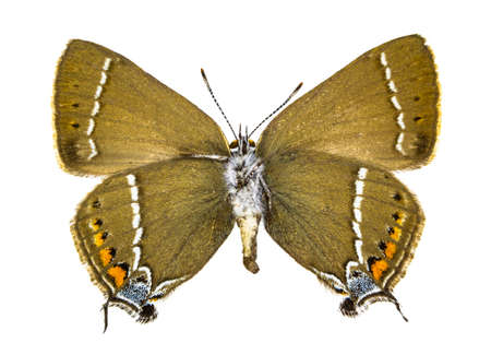 Ventral view of Satyrium spini (Blue-spot Hairstreak) butterfly isolated on white background.